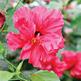Гибискус (hibiscus rosa-sinensis snowflake)