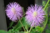 Мимоза стыдливая Mimosa pudica