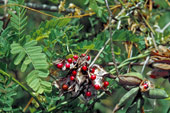 Терминалия беллерика Terminalia belerica