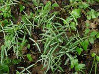 Гемидесмус индийский (hemidesmus indicus)