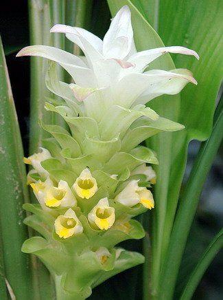 Кукурма (curcuma longa)