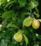 Мускатник душистый(myrstica tragrans)